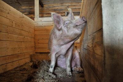 Свинарники своими руками в частном подворье фото