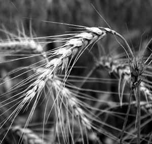 Глупый выращивает сорняки умный урожай а мудрый землю