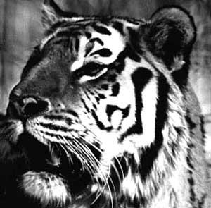 Пришествие Тигра Скачать Торрент - фото 7